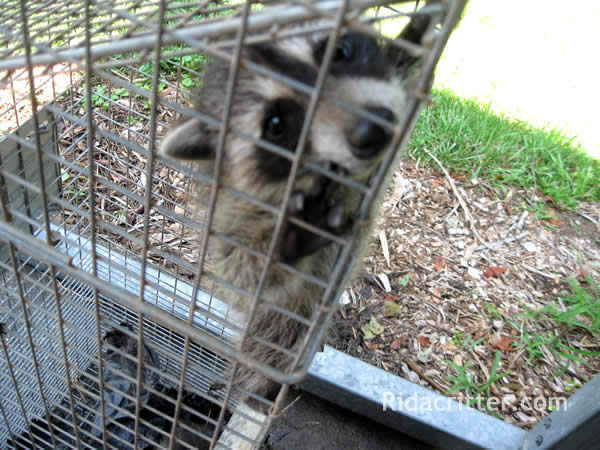 Baby raccoon climbing up the inside of a cage