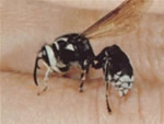 Baldfaced hornet in someone's palm