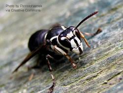 A close up of a bald-faced hornet facing the camera at a slight angle