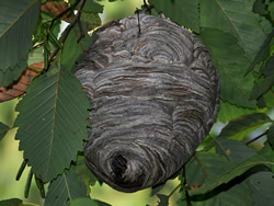 A bald-faced hornets nest in a leafy tree