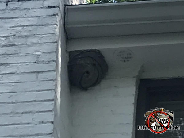 Basketball sized bald faced hornets nest attached to the soffit and brick wall of a house in Atlanta.