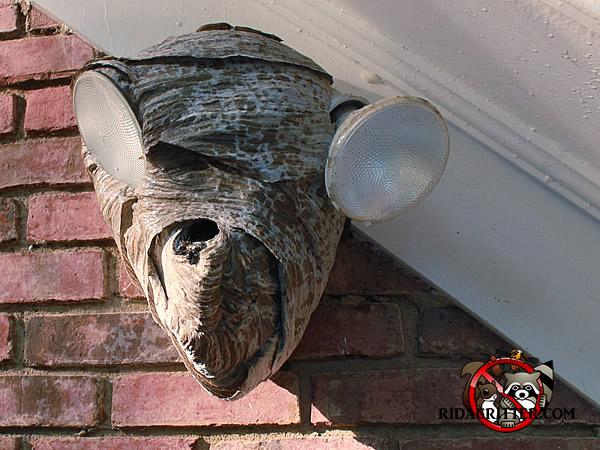 Hornet Wasp Amp Stinging Insect Control Atlanta Marietta