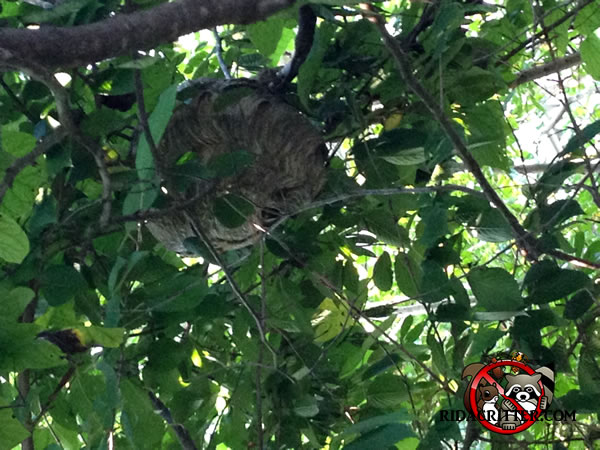 how to kill hornets nest in a tree