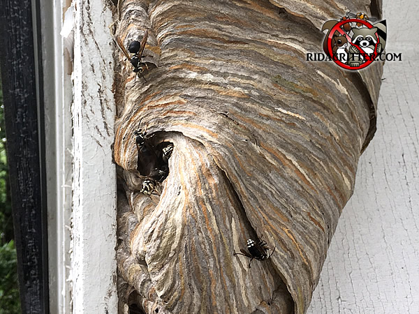 Hornets nest with several hornets around it attached to the window frame of a house in Atlanta