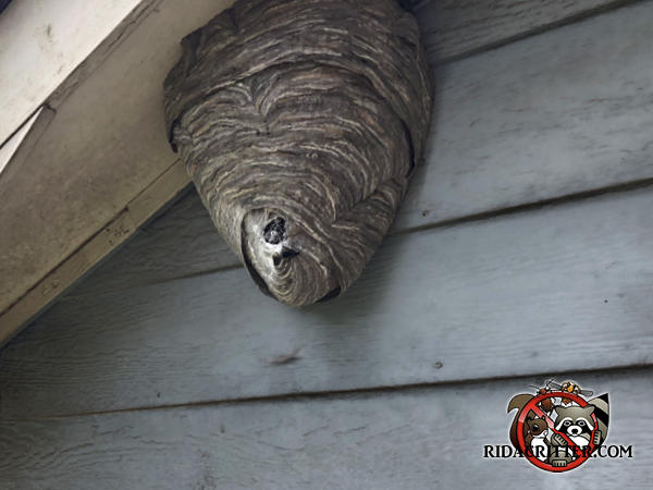 Hornet Wasp Amp Stinging Insect Control Metro Atlanta