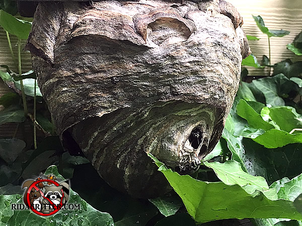Hornets nest in a bush in front of a house in Dunwoody Georgia after being treated but before it was removed and taken away