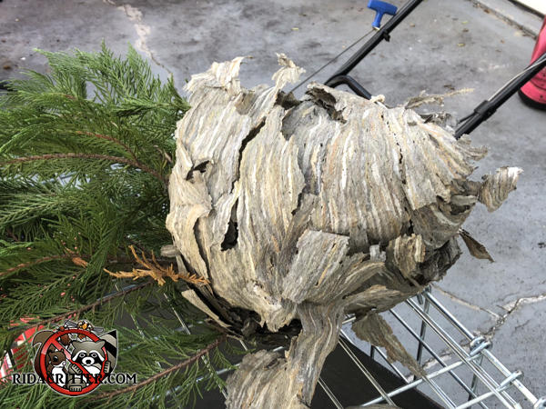 Hornets nest built around branches of a bush in Atlanta was removed branches and all