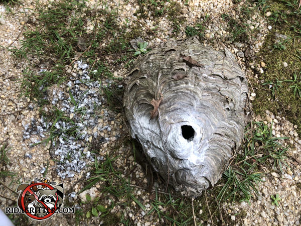 Hornets nest on the ground after being removed from a house in East Point, Georgia