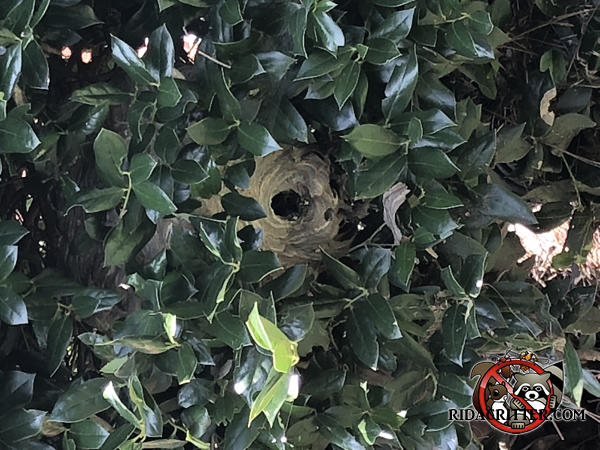 Bottom view of a hornets nest in a leafy tree outside a house in Stone Mountain Georgia