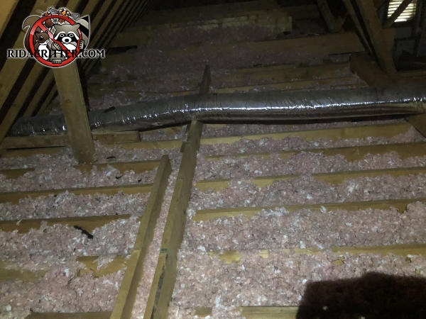 Insulation between the floor joists in an unfinished attic at a house in Johns Creek Georgia has been flattened out by animals and contaminated with urine and feces