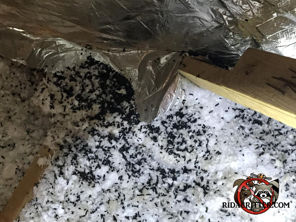 Animal droppings in the attic insulation in a house in Winder Georgia