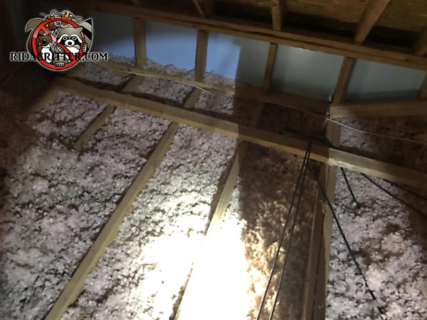 The attic insulation in a house in Atlanta is dirty and flattened out because of animals in the attic