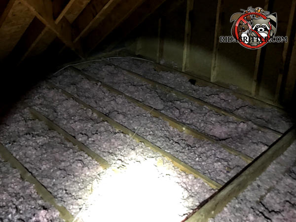The insulation between the joists in the attic of a house in Chattanooga is filthy and flattened out from animals running on it