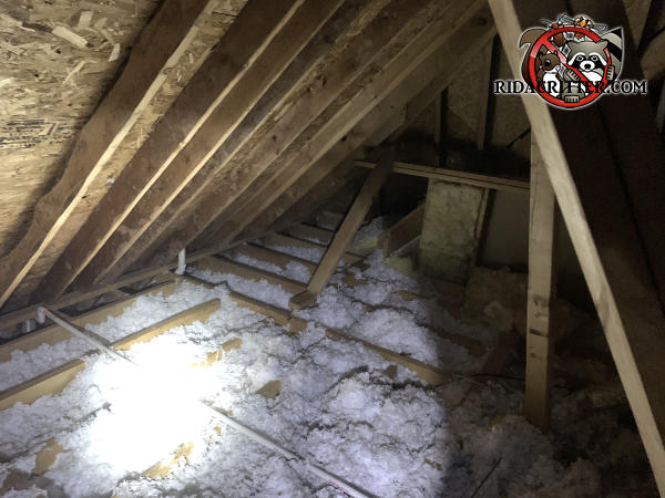Insulation between the joists in an attic in Acworth Georgia is dirty and has animal trails running through it