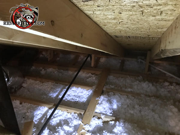 The insulation in the attic of a house in Atlanta is all flattened out and has animal droppings in it
