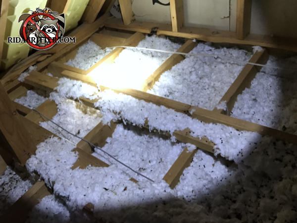 Insulation in the attic of a house in Harrison Tennessee is flattened out and contaminated with animal droppings