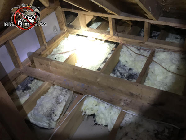 Insulation has been torn up from between the attic floor joists and contaminated with animal droppings at a Peachtree City house