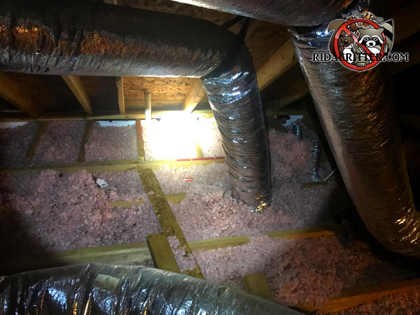 Insulation in the attic of a house in Signal Mountain Tennessee is flattened out and contaminated with animal waste