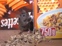 Mouse in cupboard eating breakfast cereal