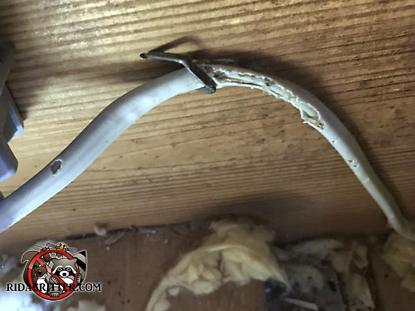 Mice chewed about two inches of insulation from electrical wiring and partially exposed the copper conductors in the attic of a house in Johns Creek Georgia.
