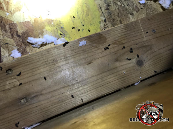 Mouse droppings on the wood framing in the attic of a house in Athens Georgia