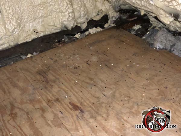 Mouse droppings on the plywood floor of an attic in Dunwoody Georgia with an entry burrow through the foam insulation