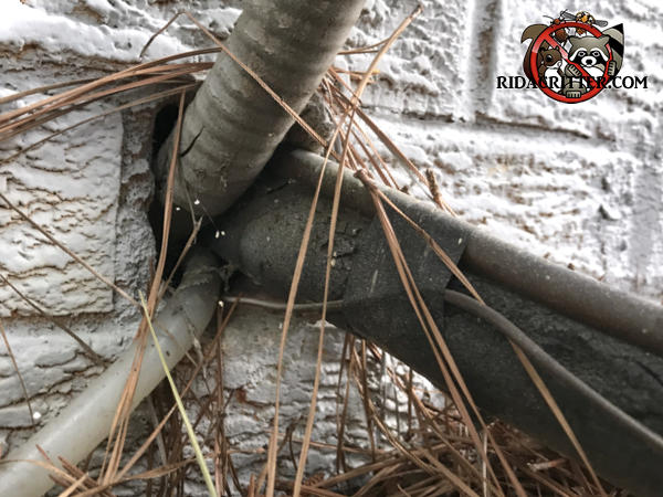 Mice climbed up an insulated air conditioning line and through a gap in the brick wall to get into a house in Atlanta