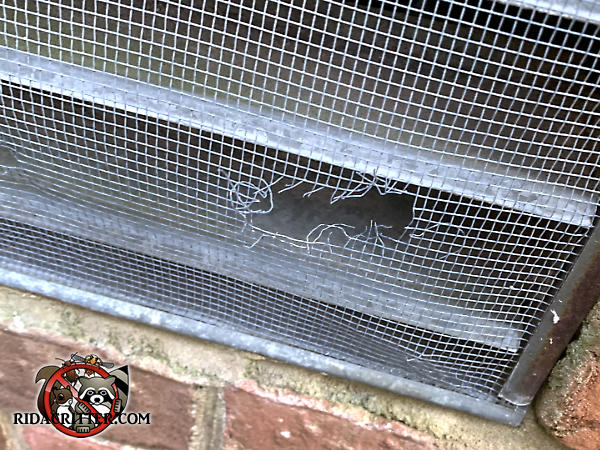 Mice gnawed a hole through a metal foundation vent screen to get into a house in Atlanta