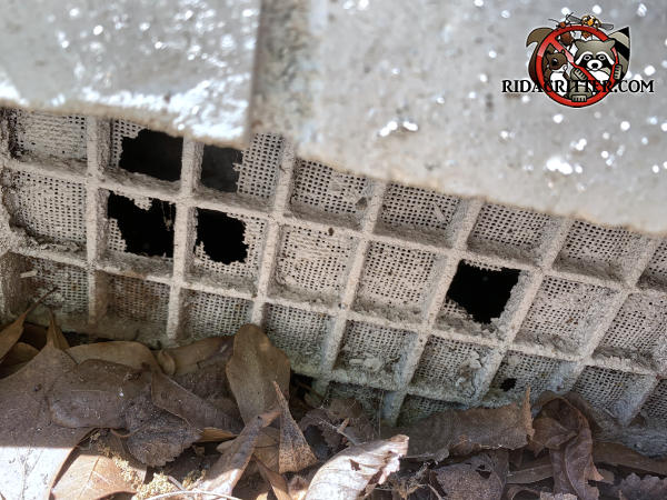 Mice gnawed five holes through the rotting screen behind a lattice type foundation vent cover to get into a house in Atlanta.