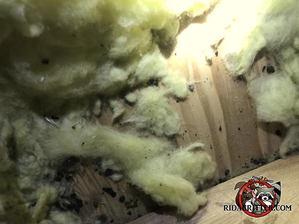 Mouse droppings and shredded insulation on the floor of the unfinished attic of a house in Carrollton Georgia.