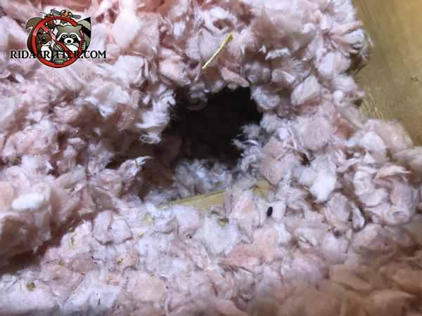 Mouse droppings and a burrow through the insulation in the attic of a house in Johns Creek Georgia