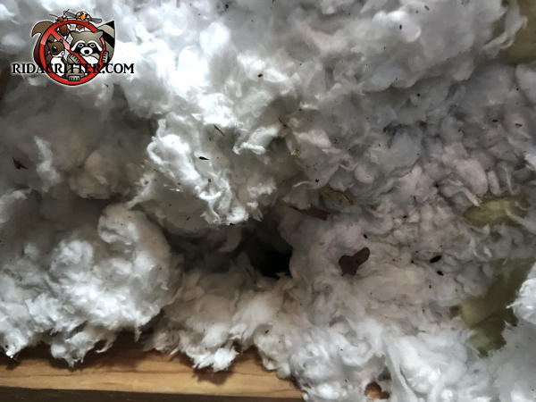 Mouse droppings and urine in the attic insulation of a house in Watkinsville Georgia
