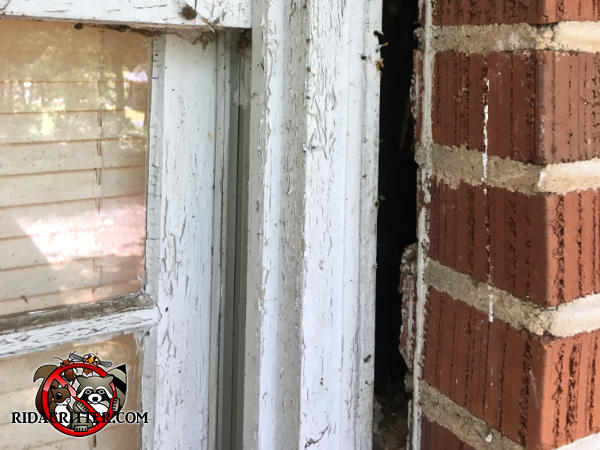 Half inch gap between the side of a window frame and the brick wall that needs to be sealed to keep mice out of an apartment house in Atlanta.