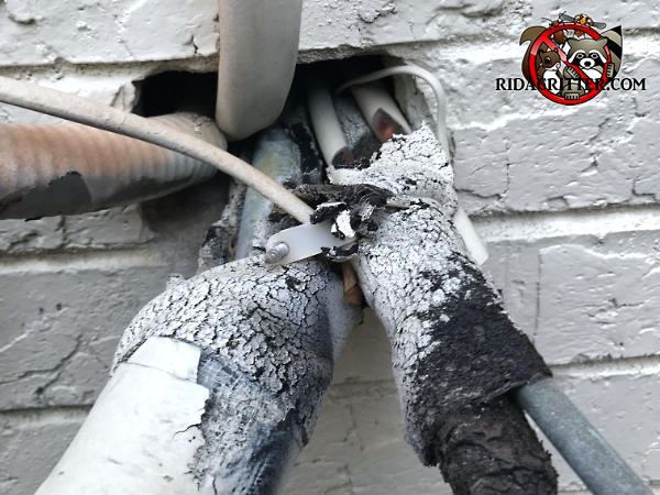 Mice climbed up the insulated air conditioning lines and into a brick house in Atlanta through gaps around the pipes and wires where they pass through the brick wall