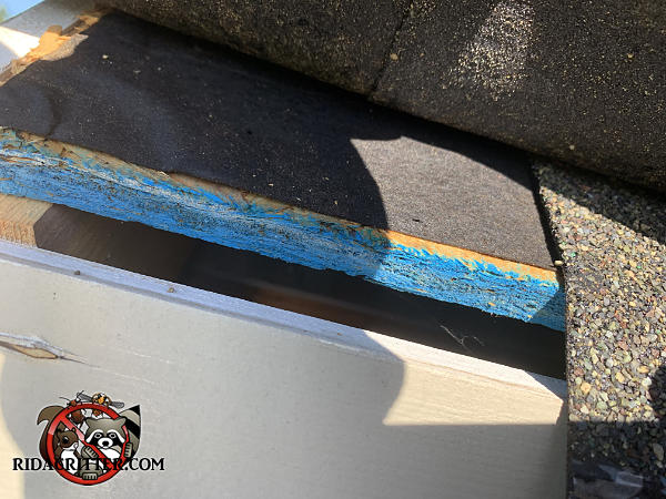 Lifted shingle exposes a half inch gap at the edge of the roof sheathing that will be sealed to keep mice out of the attic of an Athens Georgia home.