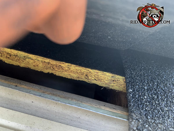 Lifted shingle reveals a half inch gap in the roof sheathing that allowed mice to get from the rain gutter to the attic of an Atlanta home.
