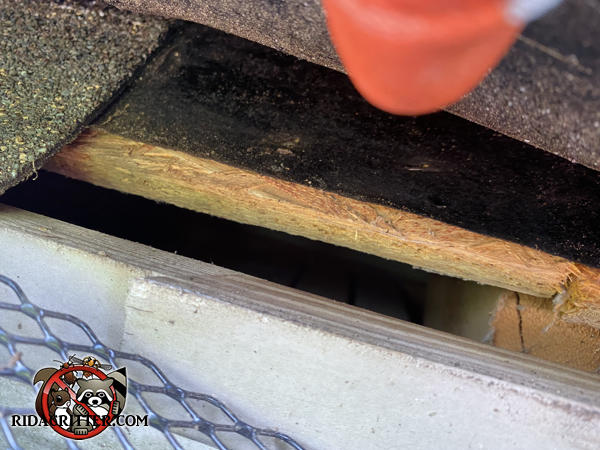 Lifted shingle reveals a half inch gap along the edge of the roof that allowed mice to get into the attic of a house in Big Canoe Georgia.