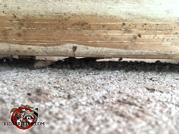 Gap between the wall and the carpet of a house in Chattanooga with some droppings in the carpet