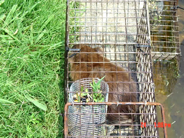 Muskrat Trapping Pictures Muskrat in a Box Trap in