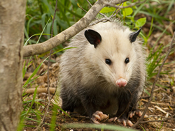 An opossum facing the camera in a wooded area near Mountain Brook, Alabama
