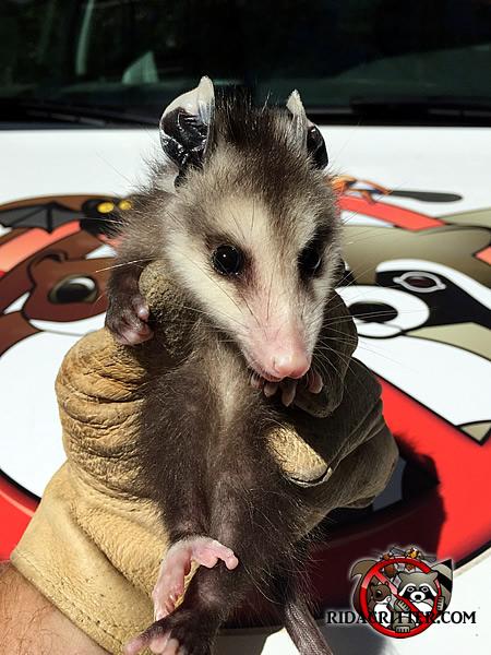 Opossum Removal, Trapping & Control   Columbus, Alpharetta