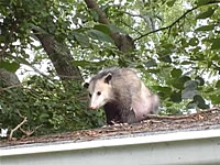 Opossum on a roof watching as a Decatur, Georgia animal control crew sealed it out of a house