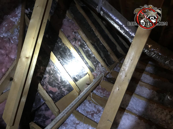 Insulation is torn from between the rafters and the insulation between the joists has been flattened by opossums in an attic in Chattanooga