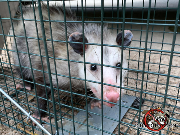 Young opossum in a cage trap facing the camera after being removed from a house in Athens Georgia is awaiting relocation elsewhere