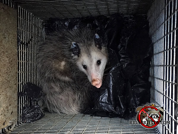 Young opossum in a cage trap after being removed from a house in Atlanta