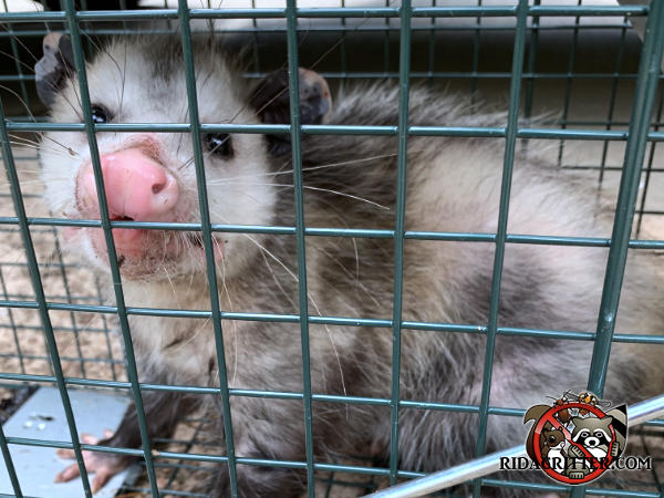 Young opossum in a cage trap facing the camera after having been removed from a house in Macon Georgia