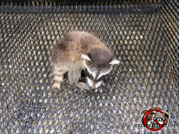 Baby raccoon removed from a house in Marietta Georgia