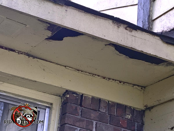 Raccoons tore two big holes right through the soffit panel of a house in Adairsville Georgia