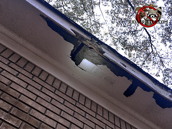 About a six foot length of the soffit panel has been seriously torn apart by racoons