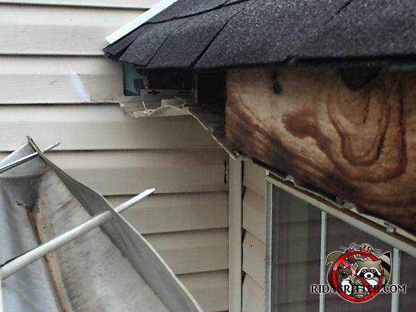 Raccoon pulled the rain gutter off the fascia of a house in Atlanta and it is hanging down from the roof
